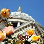 St Pauls Cathedral rose 01