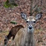 Beaver Bend State Park Deer